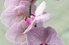 Orkide Menü